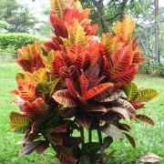 Muda de Cróton - Arbusto Colorido