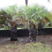 Muda de Palmeira Butiá da Serra - Butia Eriospata