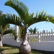 Muda De Palmeira Garrafa - Hyophorbe Lagenicaulis