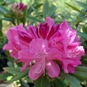 Muda de Rododendro ou Azaléia Arbórea - Rhododendron Simsii