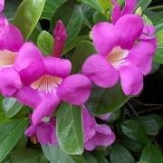 Muda de Saritéia - com 1m - Flor Trepadeira