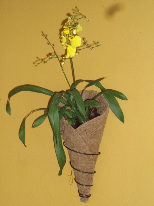 Vaso Orquidea de parede COQUIM