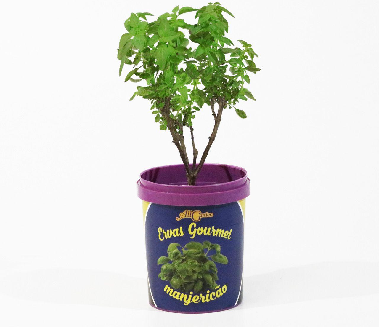 Erva Gourmet: Manjericão All Garden