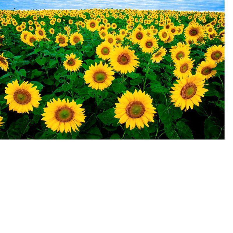 Girassol de Jardim Amarelo alto ISLA
