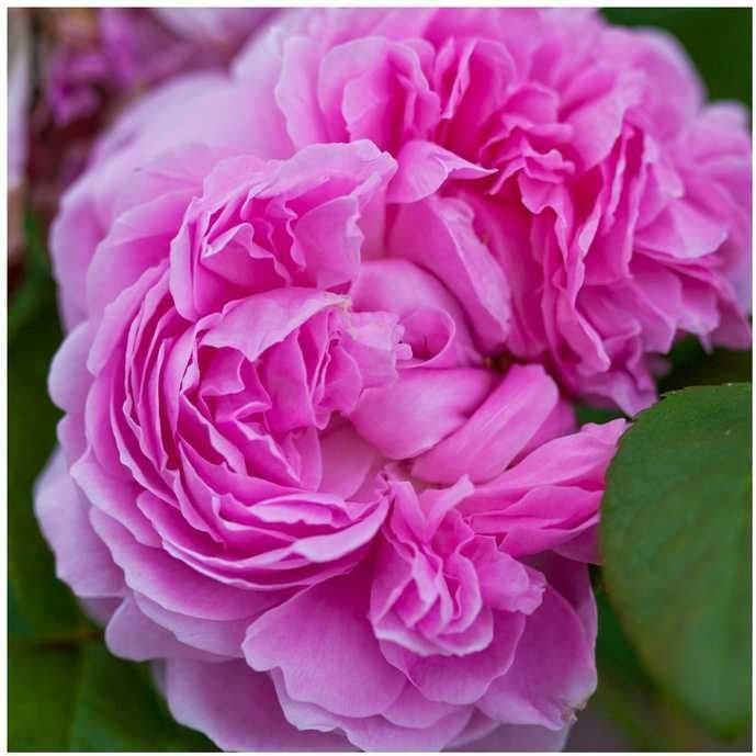Hidrolato de Rosas Arte dos Aromas - 120ml