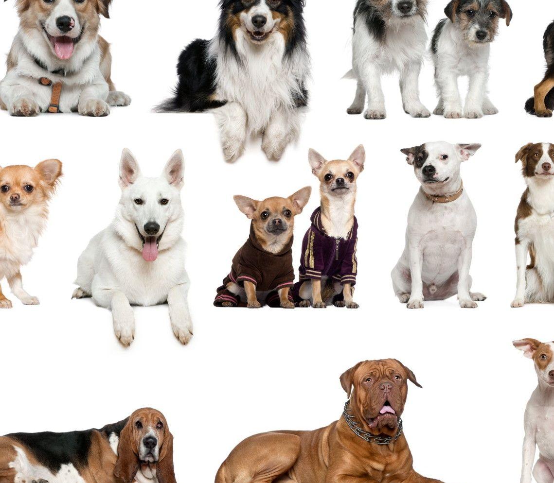 Mural de Parede Diversas Raças de Cães Cachorros 4274C1