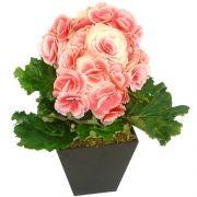 Begônia Rosa Contente
