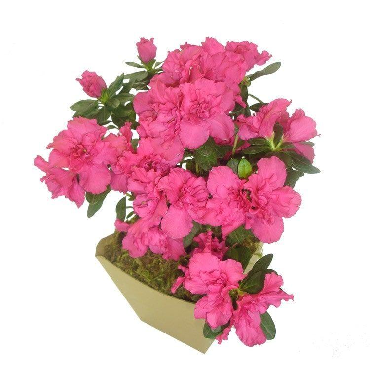 Azaléia Pink