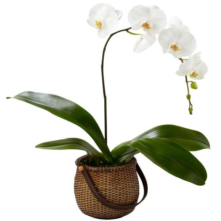 Orquídea Branca Cesto de Palha