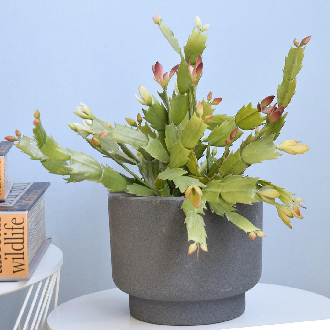 Arranjo de Flor de Maio Toque Real no Vaso Cumbuca Cinza | Formosinha