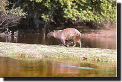 Apito Pio Canudo Madeira Artesanal Maurilio Coelho - nº 18 Hydrochoerus capibara  (Capivara)