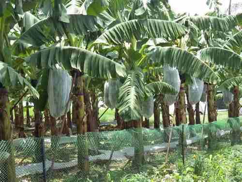 Saco De Proteção Tnt P/bananas ,69x1,50 Mts 100 Un C/amarril