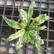 Asplenium nidus variegato