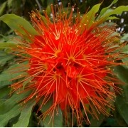 Brownea macrophylla