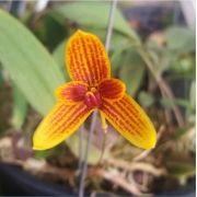 Bulbophyllum pardalotum