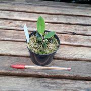 Cattleya aclandiae f. albescens x self