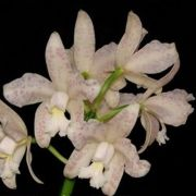 Cattleya amethistoglossa albescens