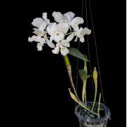 Cattleya skinneri alba