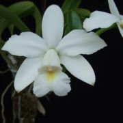 Cattleya violacea alba x self