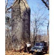 Cavanillesia arborea