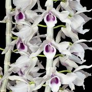 Dendrobium anosmum coerulea