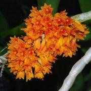 Dendrobium bullenianum ( sin. Dendrobium topaziacum )