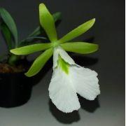 Encyclia mariae  sin. Euchile mariae