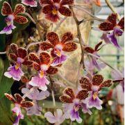 Epidendrum schumannianum