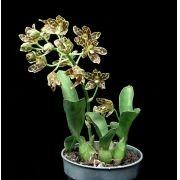 Grammatophyllum scriptum var. kiilani