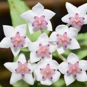 Hoya bella albomarginata