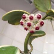 Hoya kerrii variegata