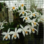 Laelia jongheana alba