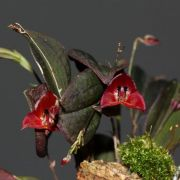 Lepanthes lucifer