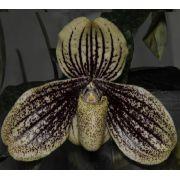 Paphiopedilum myanmaricum