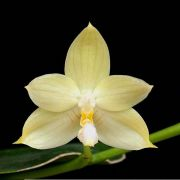 Phalaenopsis floresensis ( ex. Phalaenopsis rufino )