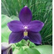 "Phalaenopsis violacea coerulea ""Indigo Blue"""