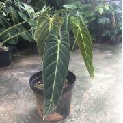 Philodendrom melanochrysum