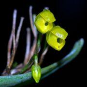 Pleurothallis penicillata