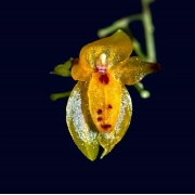 Pleurothallis rubella