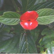 Psychotria poeppigiana