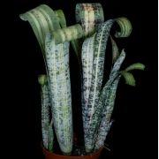 """Quesnelia marmorata  variegata """"Lyra"""""""