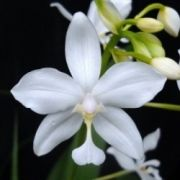 Spathoglottis plicata alba