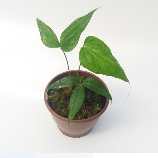 Anthurium croatiana