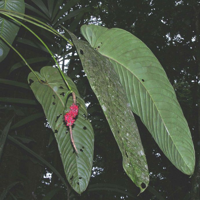 Anthurium cuspidatum