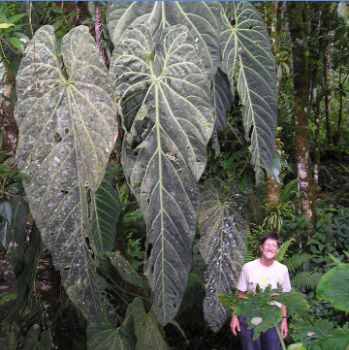Anthurium metallicum