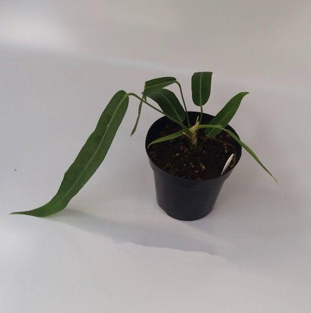 Anthurium pallidiflorum