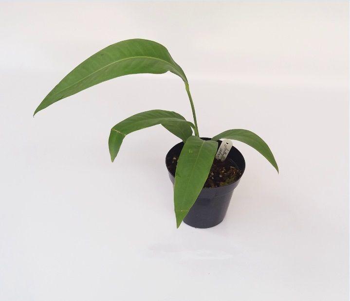 Anthurium scolopendrinum