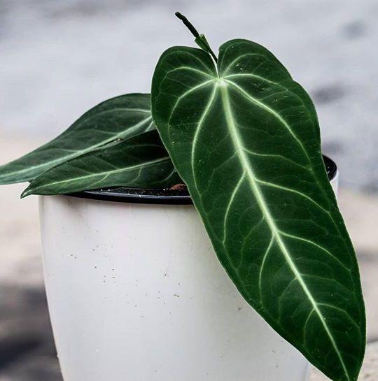 Anthurium villenaorum