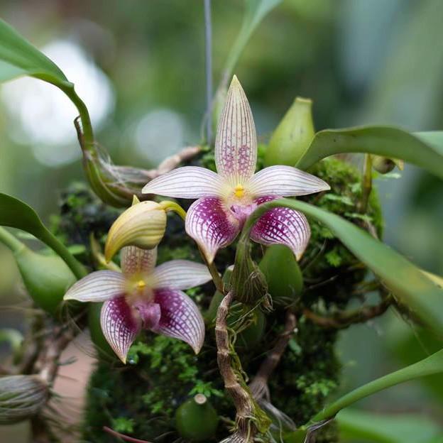 Bulbophyllum facetum