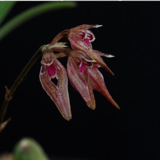 Bulbophyllum japonicum
